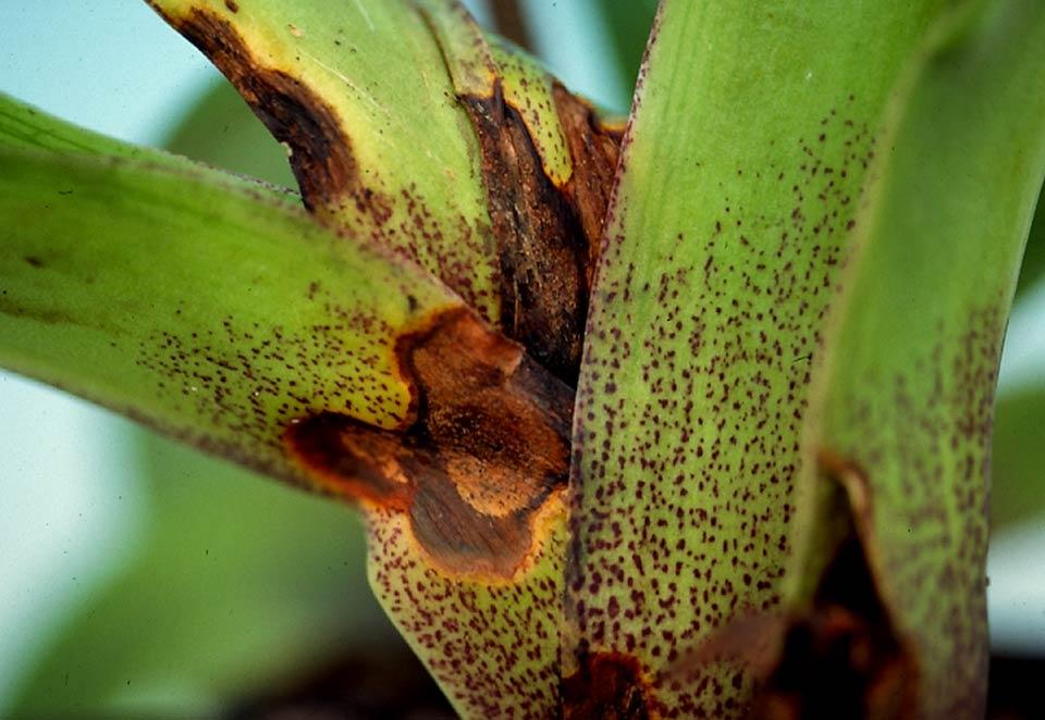 Hark Orchideen - Krankheiten: Colletotrichum