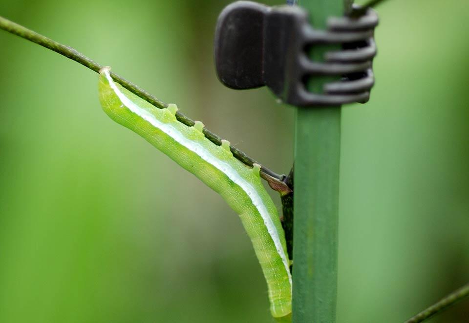 Hark Orchideen - Schädlinge: Schmetterlinge