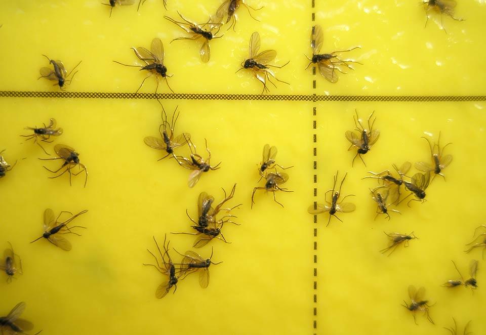 Hark Orchideen - Schädlinge: Trauermücken