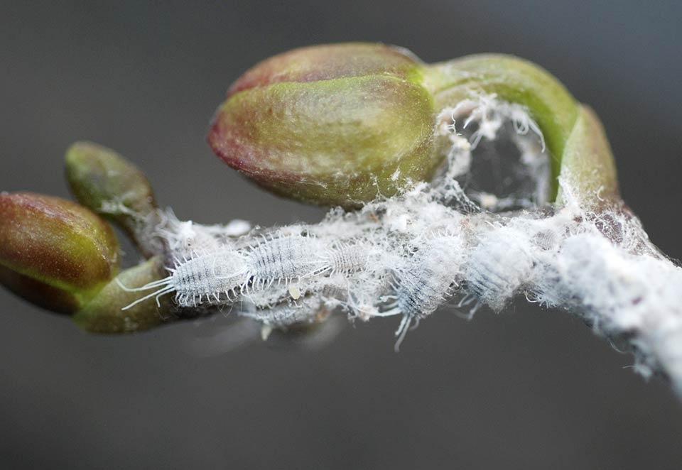 Hark Orchideen - Schädlinge: Wollläuse