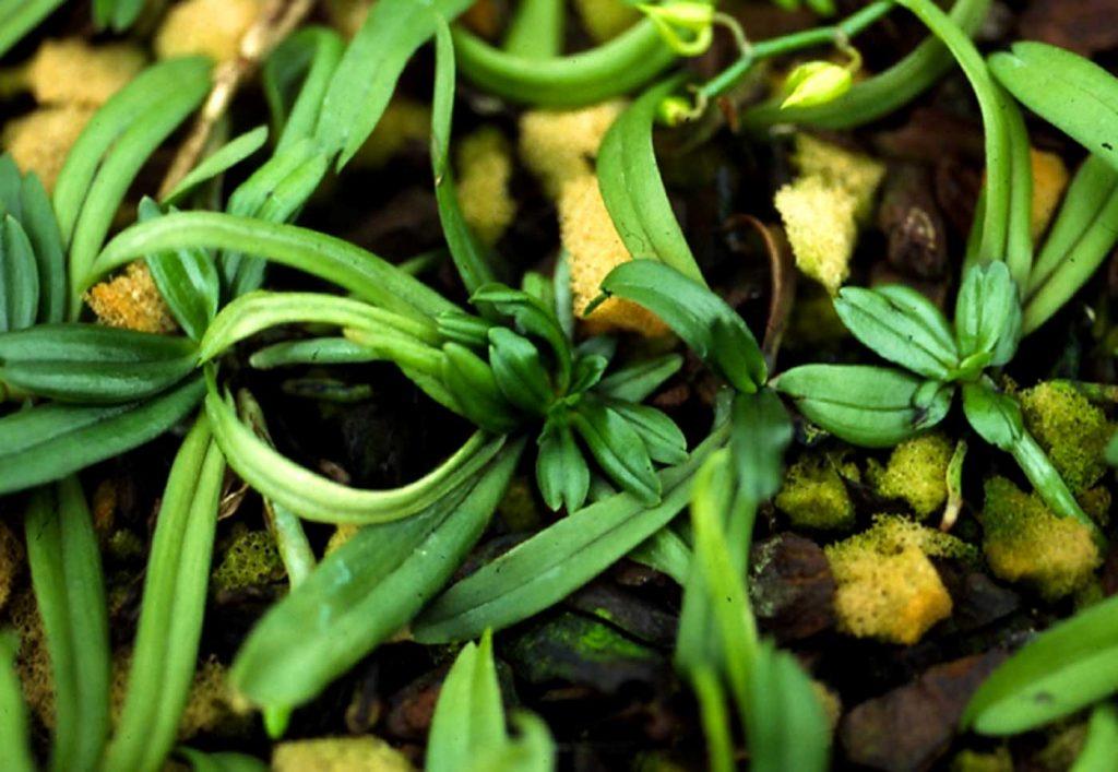 Aerangis: soft-bodied mites - © Holger Nennmann