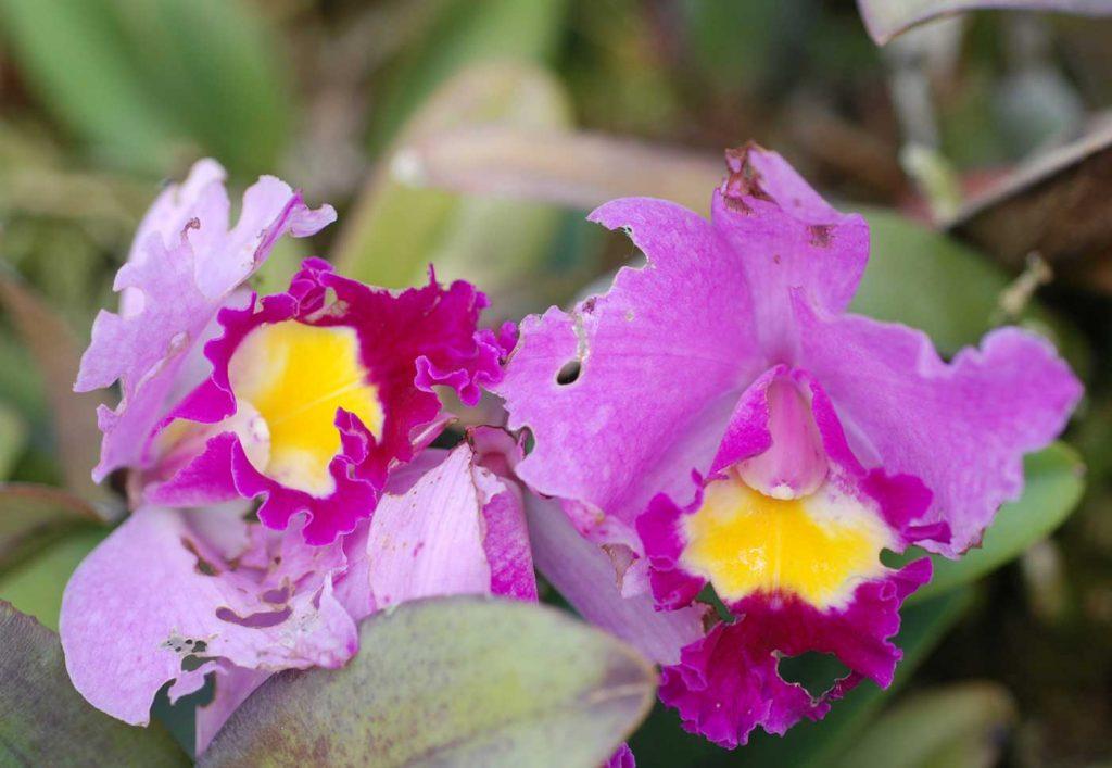 Cattleya: scraping damage at flower caused by slug - © Holger Nennmann