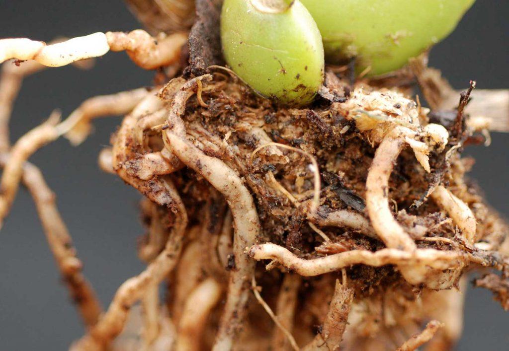 Colmanara: Rhizoctonia solani, root rot - © Holger Nennmann
