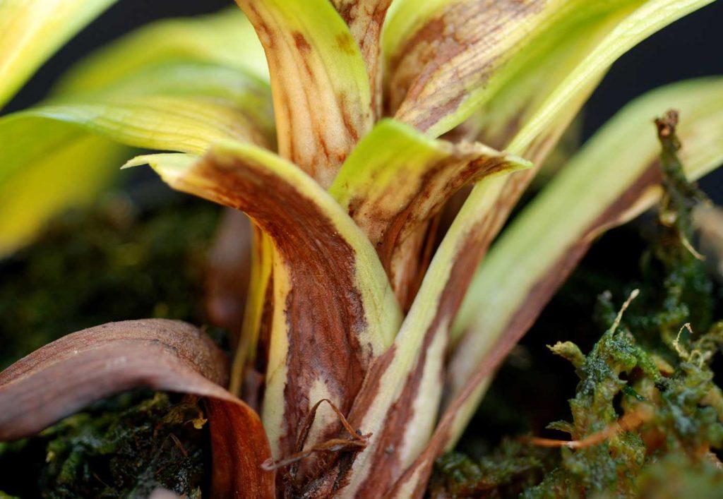 Disa: Phytophthora stem rot - © Holger Nennmann