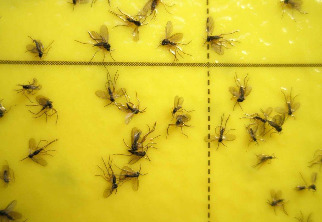 Fungus gnats (Sciara) on yellow adhesive trap - © Holger Nennmann