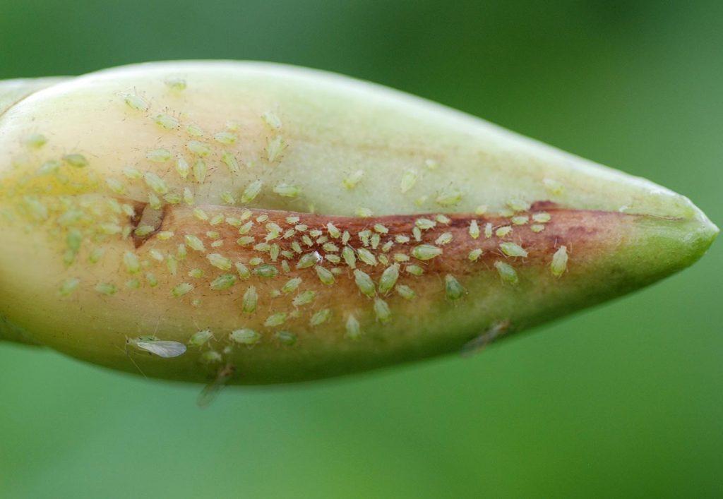 Lycaste: aphids on a flower bud - © Holger Nennmann