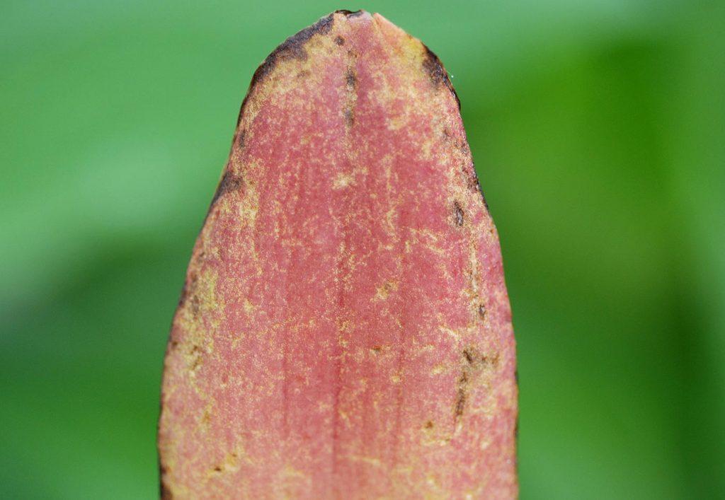 Lycaste: leaf damage caused by aphids - © Holger Nennmann