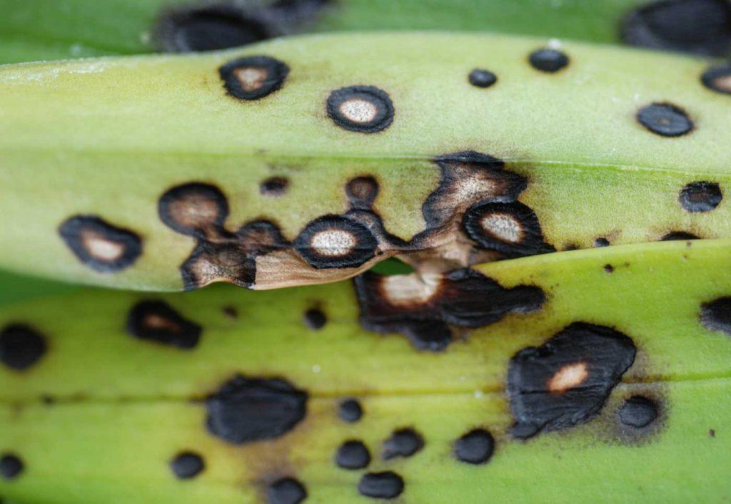 Masdevallia: Colletotrichum leaf spots - © Holger Nennmann