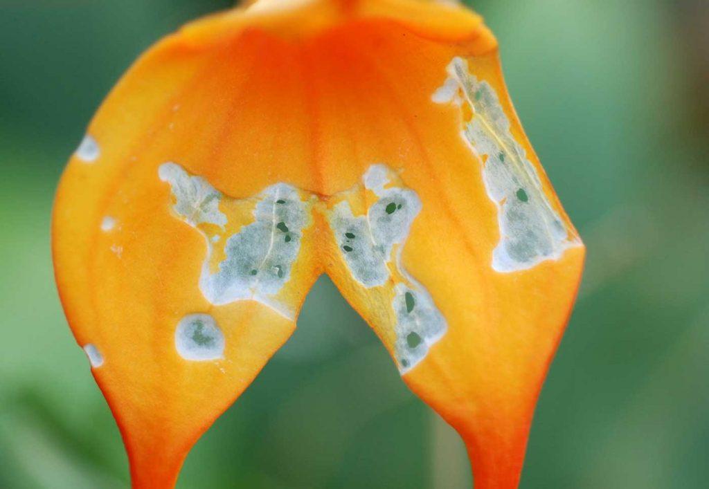 Masdevallia: feeding damage caused by butterfly caterpillar - © Holger Nennmann
