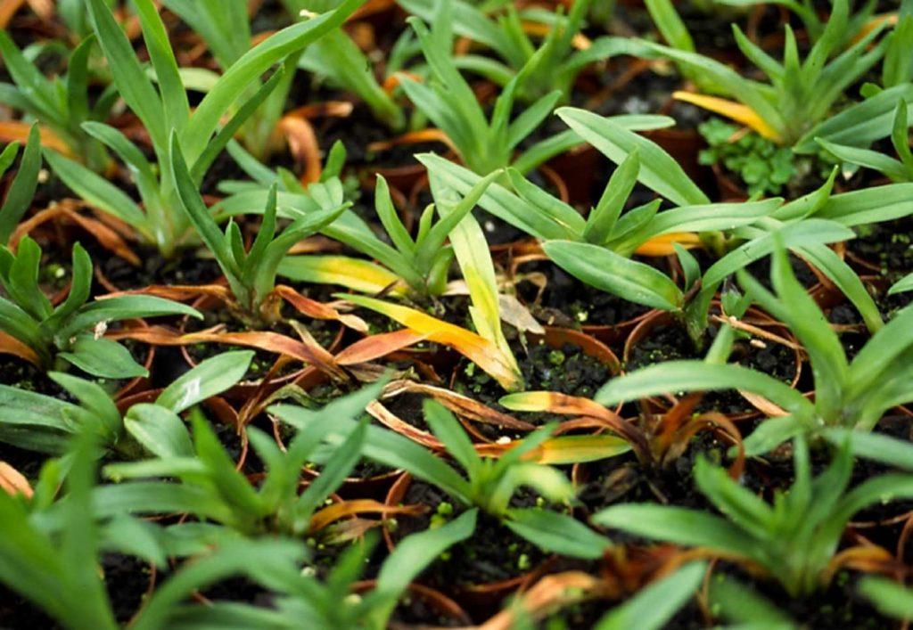 Miltonia: Rhizoctonia solani, root rot on young plants - © Holger Nennmann