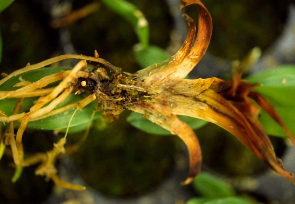 Miltonia: Lyprauta at young plants - © Holger Nennmann