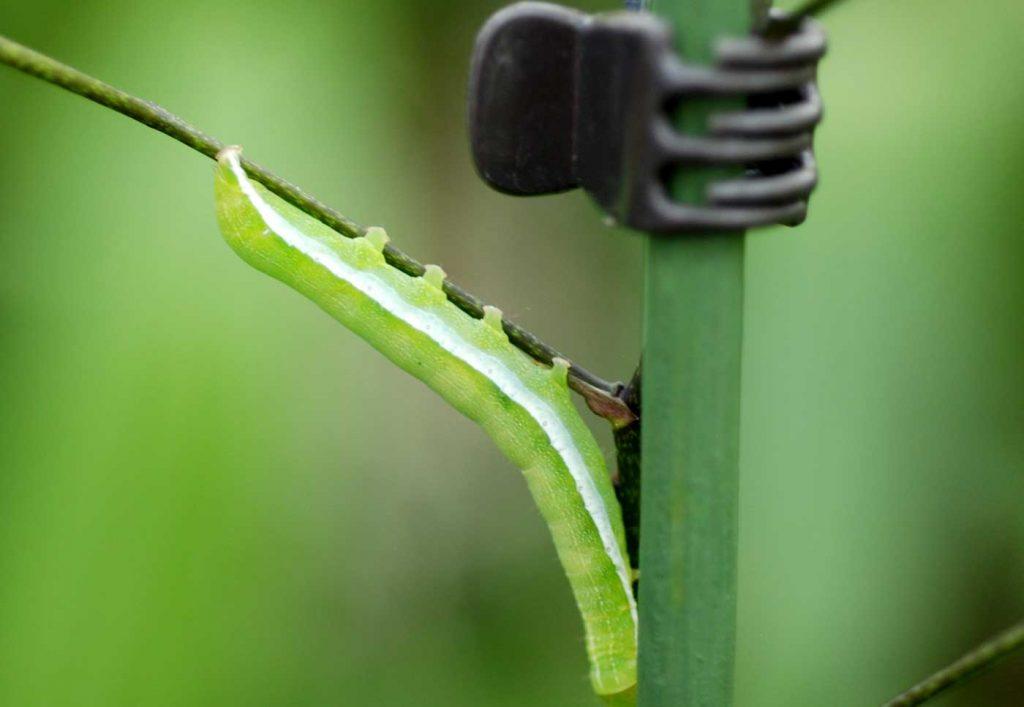 Oncidium: butterfly catarpillar at flower-stem - © Holger Nennmann