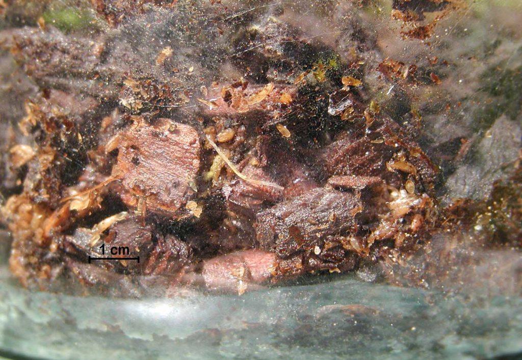 Lyprauta (Orfelia) larvae picture - © Hark