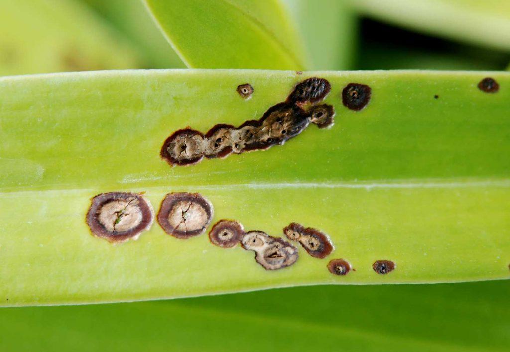 Paphiopedilum: Colletotrichum leaf spots - © Holger Nennmann