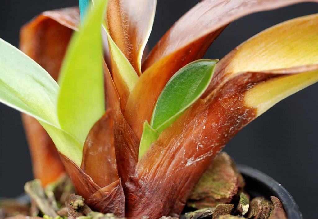 Paphiopedilum: Erwinia cypripedii at leaf base - © Holger Nennmann