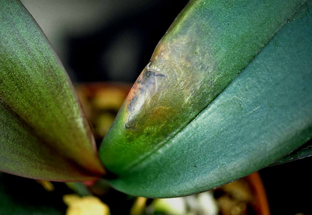 Phalaenopsis: Erwinia soft rot - © Holger Nennmann