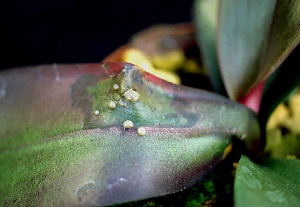 Phalaenopsis: Erwinia soft rot with infective bacteria slime - © Holger Nennmann
