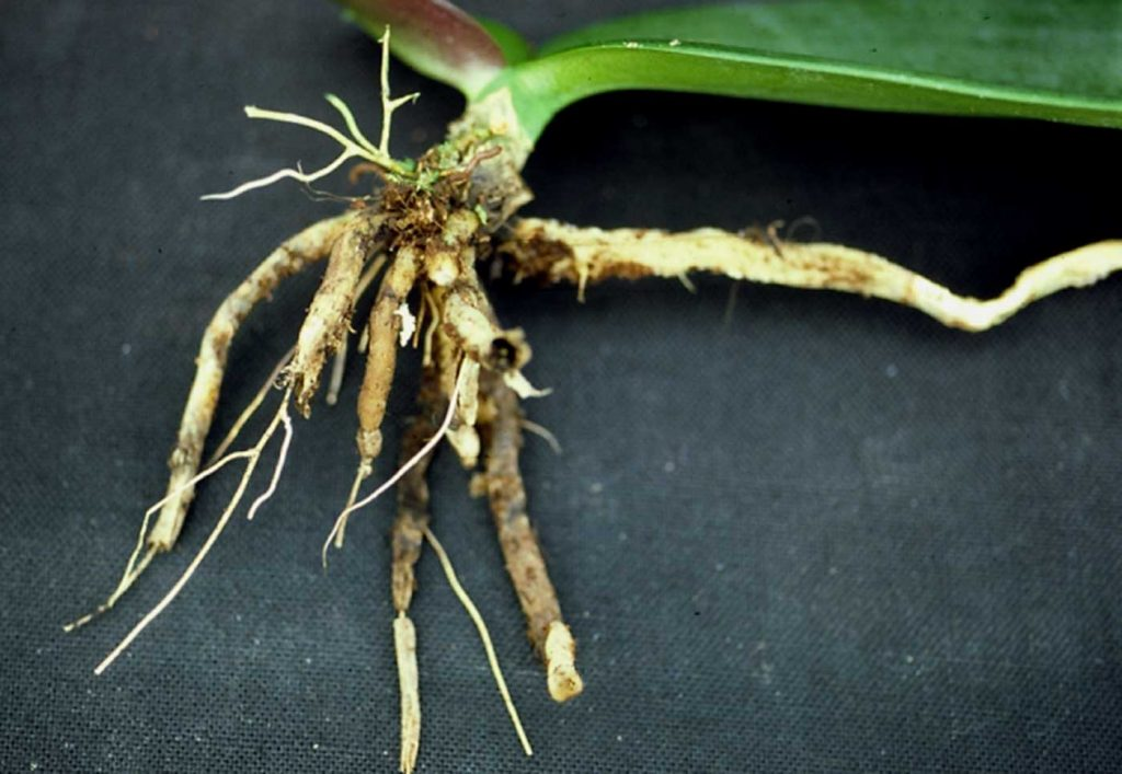 Phalaenopsis: Pythium root rot at young plants - © Holger Nennmann