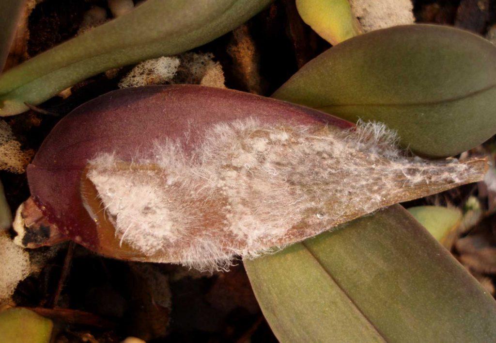 Phalaenopsis: Sclerotium rolfsii at young plants - © Holger Nennmann