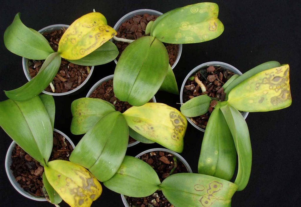 Phalaenopsis: Tospo-Virus - chlorotic ring pattern - © Holger Nennmann