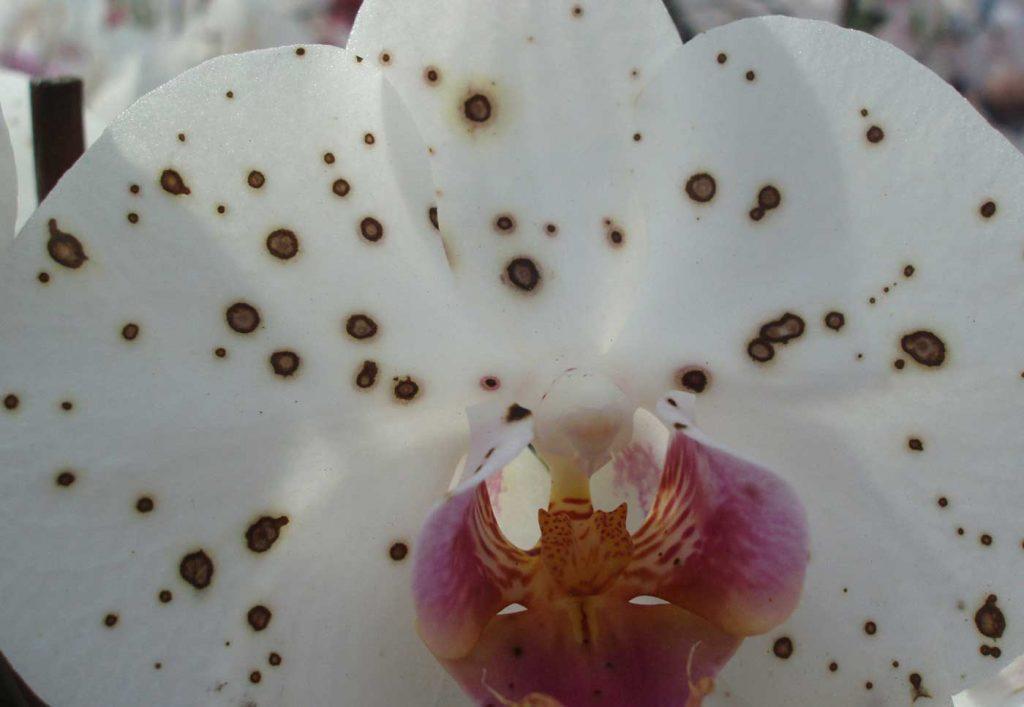 Phalaenopsis: Botrytis cinerea on a blossom - © Holger Nennmann