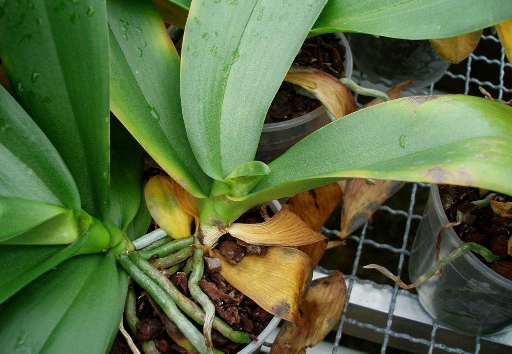 Phalaenopsis: false spider mite (Brevipalpus sp.) - © Holger Nennmann