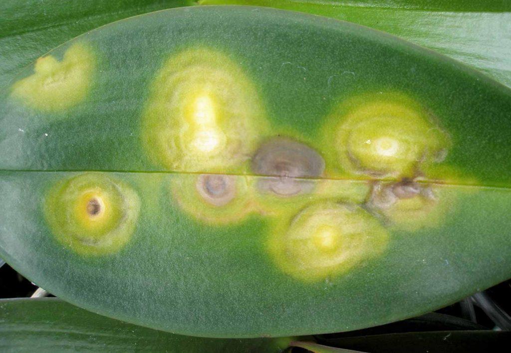 Phalaenopsis: chlorotic ring pattern, combustion gases, no virus - © Holger Nennmann