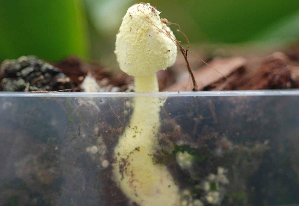flowerpot parasol (Leucocoprinus birnbaumii), young fruit body - © Holger Nennmann