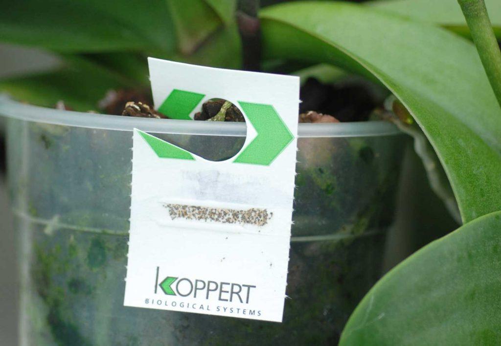Phalaenopsis: card with Trichogramma parasitic wesps - © Holger Nennmann