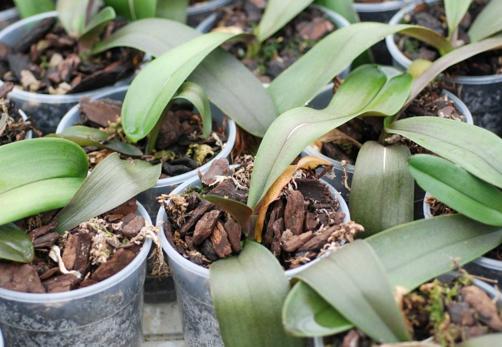 Phalaenopsis: root rot, Fusarium oxysporum - © Holger Nennmann