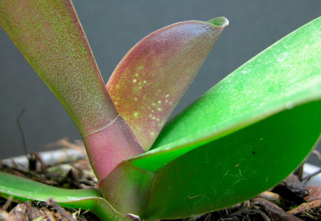 Phalaenopsis: damages caused by moss mites - © Holger Nennmann