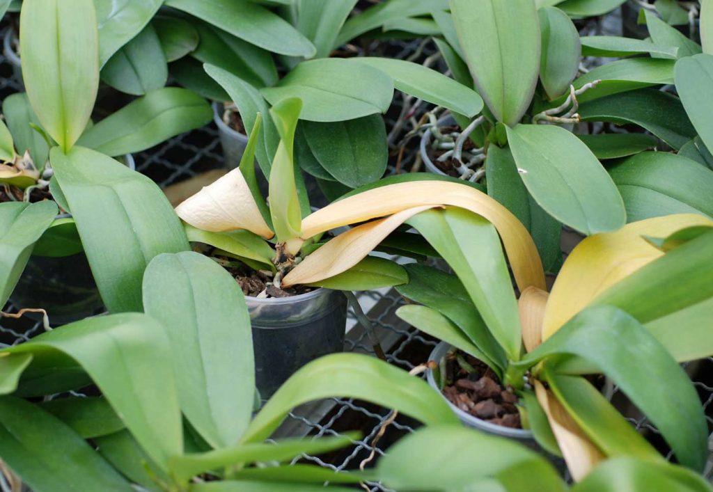 Paphiopedilum: Fusarium rot on leaf base - © Holger Nennmann