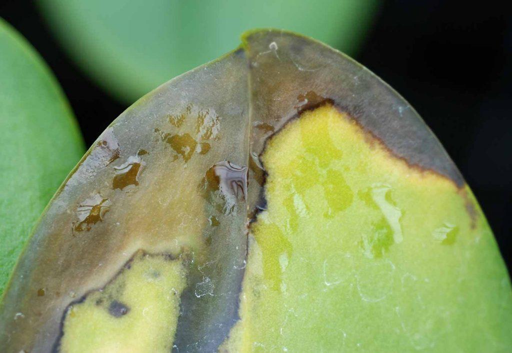 Phalaenopsis: Erwinia soft rot- © Holger Nennmann