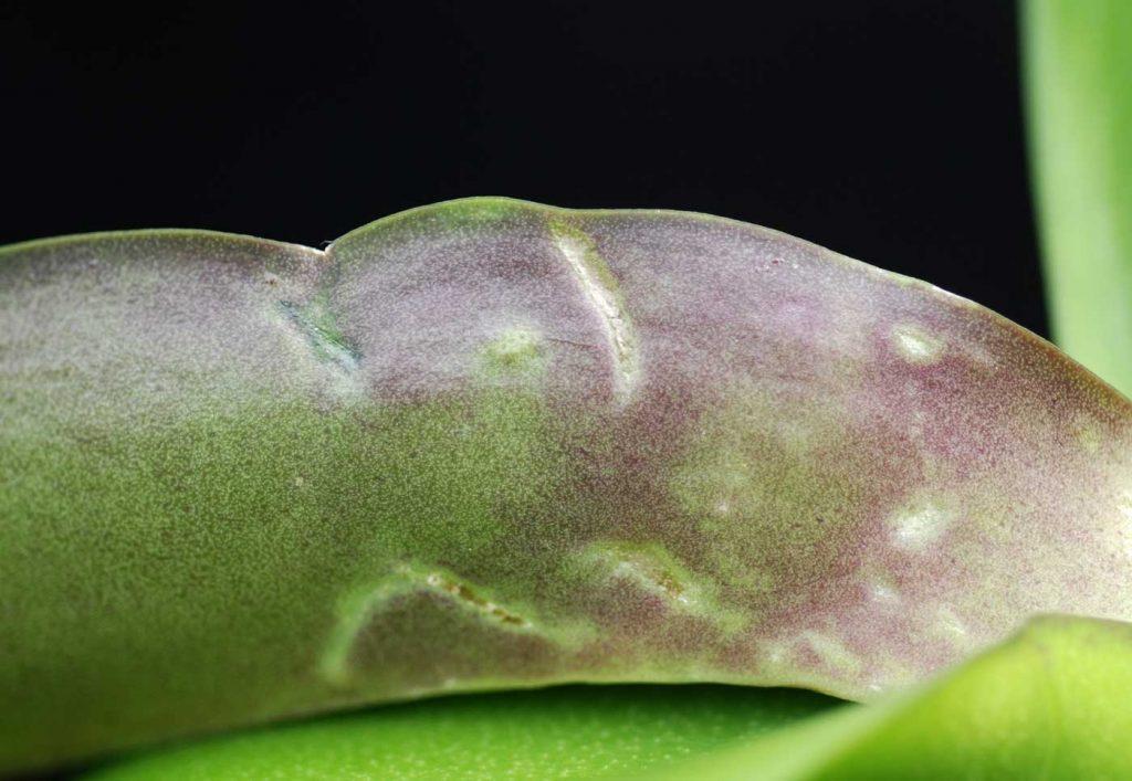Phalaenopsis: Thrips - © Holger Nennmann