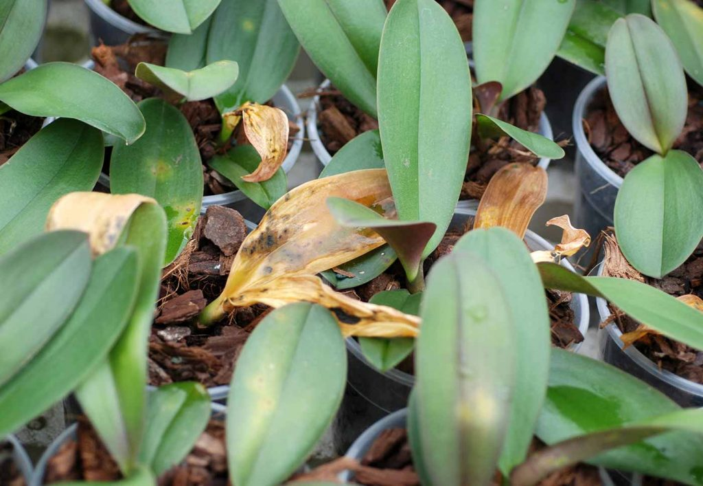 Phalaenopsis: Acidovorax avenae, leaf spot - © Holger Nennmann