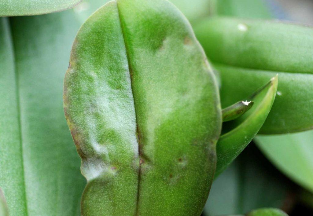 Phalaenopsis: Rhizoctonia solani, leaf symptoms - © Holger Nennmann