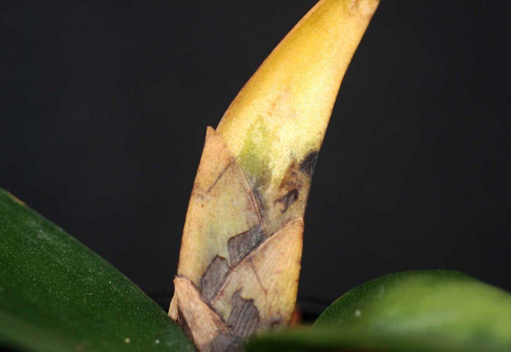 Psychopsis: Fusarium rot on leaf base - © Holger Nennmann