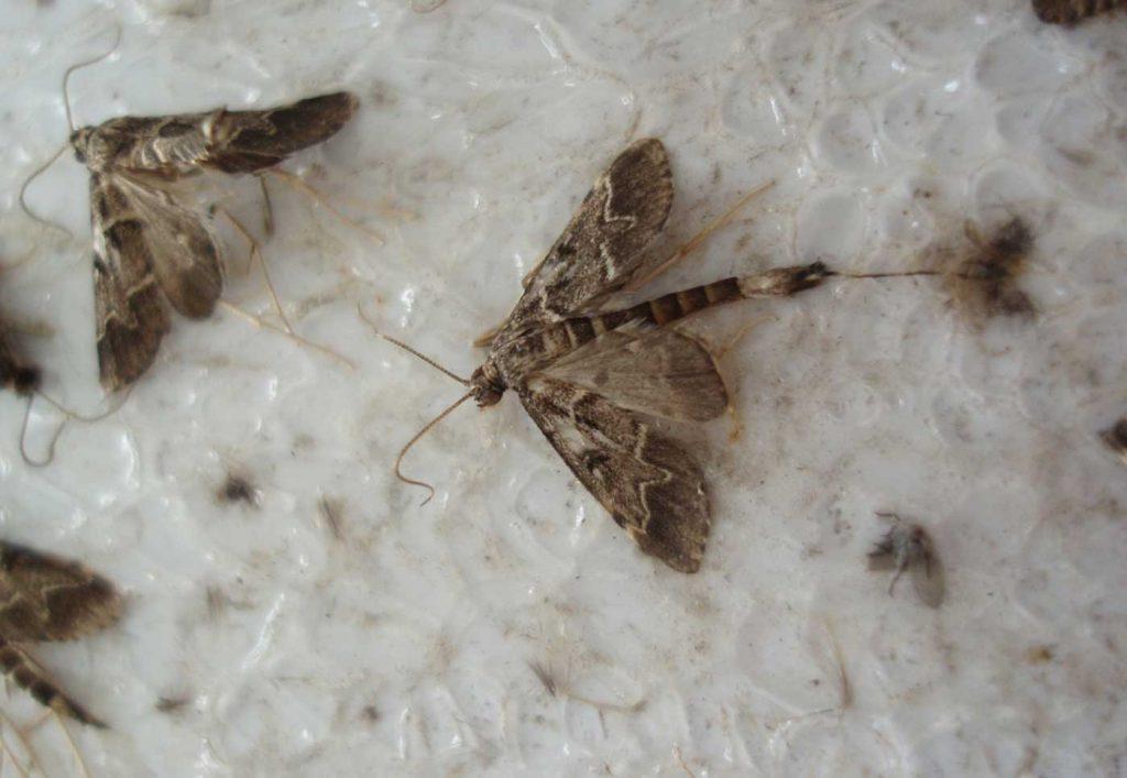 Duponchelia fovealis in pheromone trap - © Holger Nennmann