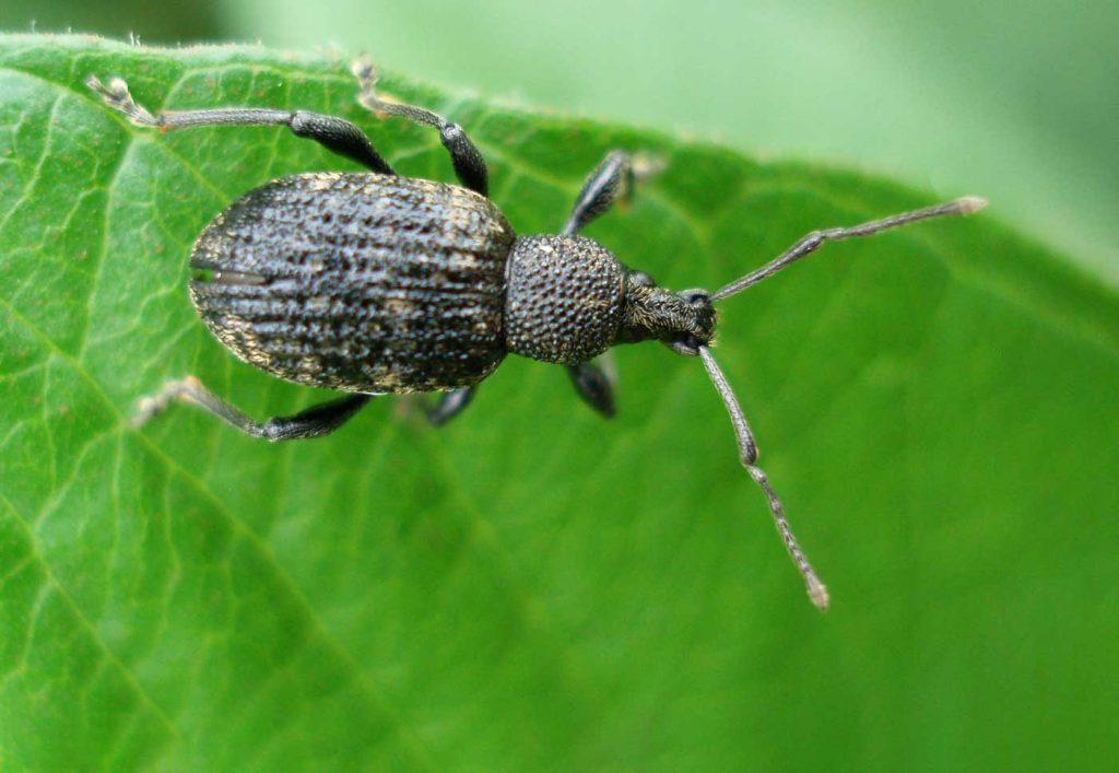 Black vine weevil (Otiorhynchus sulcatus) - © Holger Nennmann
