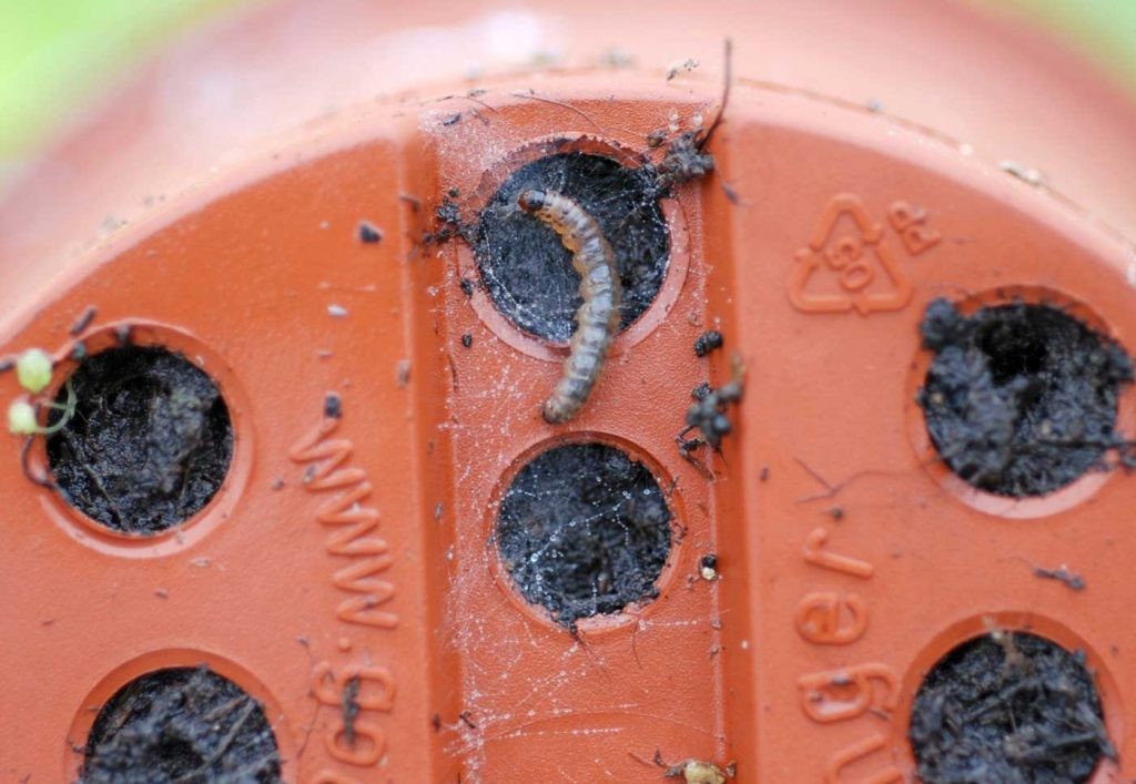 Duponchelia fovealis, caterpillar below pot - © Holger Nennmann