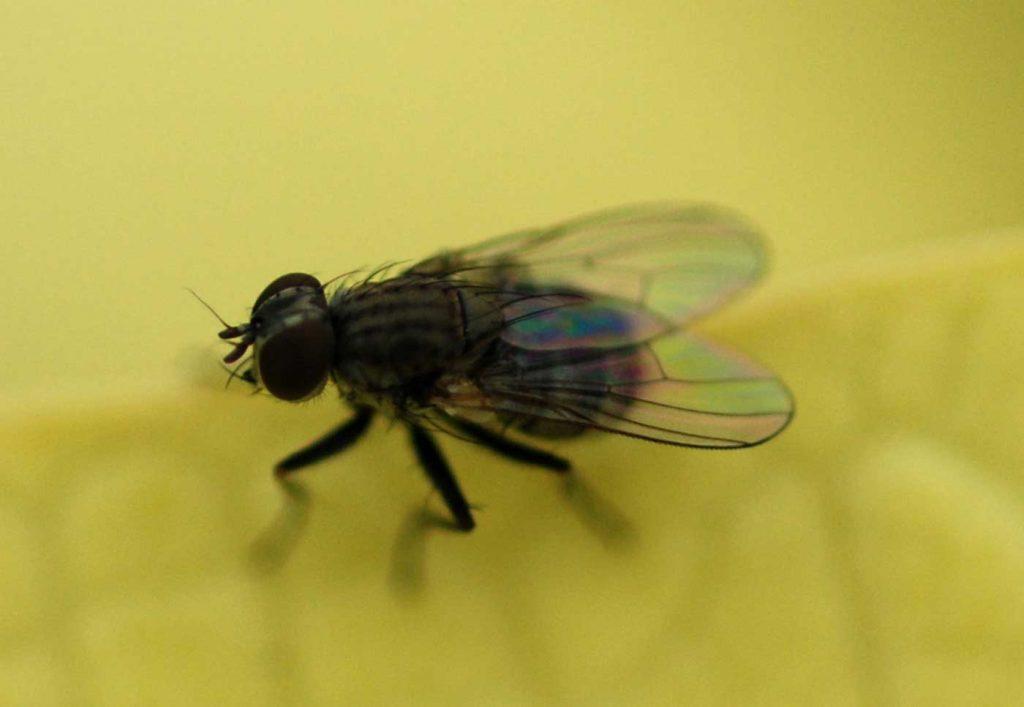 Coenosia-robber-fly - © Holger Nennmann