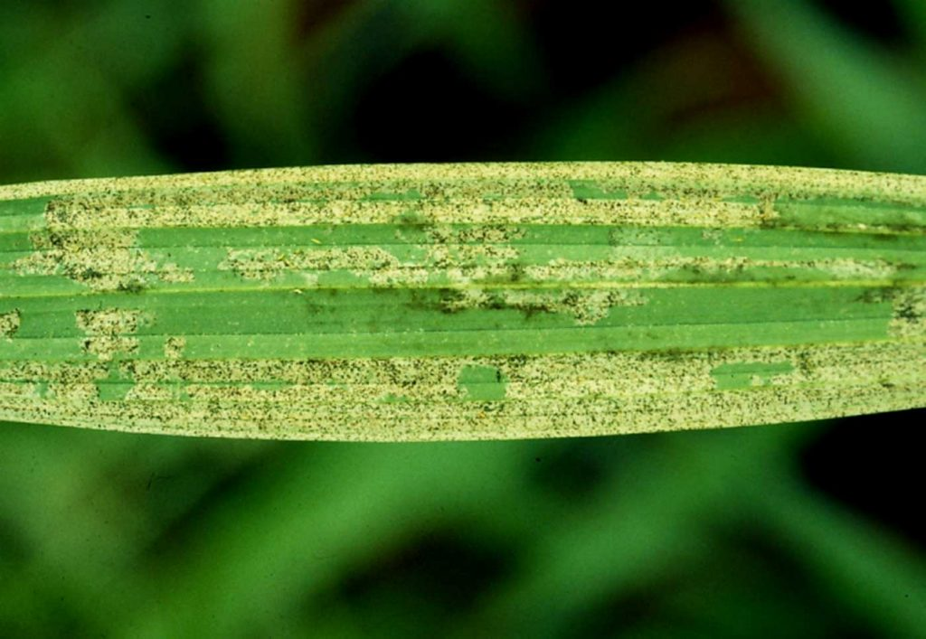 Spathoglottis: American Thrips (Echinothrips americanus) - © Holger Nennmann